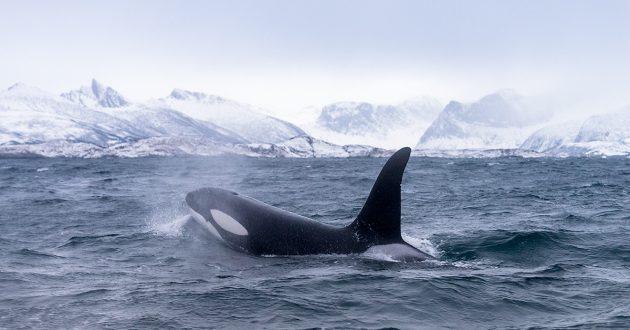 Spreker en avonturier Melvin Redeker. Orka's in Arctisch Noorwegen