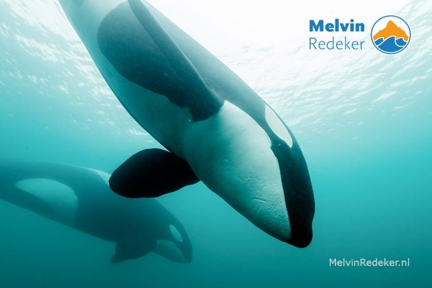 avonturier en onderwaterfotograaf Melvin Redeker stond Oog in oog met orka's in de Noordzee