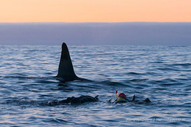 Spreker en avonturier Melvin aan het snorkelen met orka's
