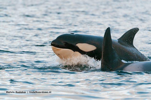 Orka jong in de Noordzee. Volwassen exemplaren worden 8 meter groot. Orka's: durf ik met ze in het water?