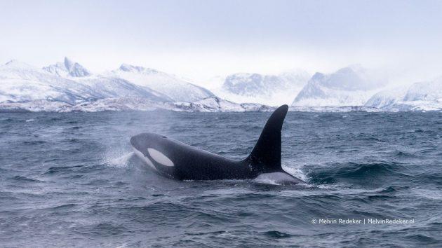 Theatershow De roep van de orka